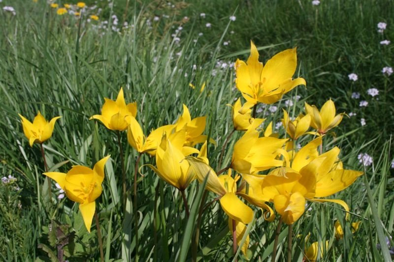 tulipe agenaise